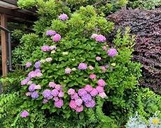 贈答・プレゼントにも。こだわり高級素材無添加パスタソース専門店・おとりよせのナチュラルグレースメルカートのブログ レストランの紫陽花