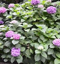 お取り寄せパスタソースナチュラルグレースメルカートのブログ 花言葉♪ 紫陽花