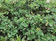 贈答・プレゼントにも。こだわり高級無添加パスタソース専門手・おとりよせのナチュラルグレースメルカートのブログ 北アルプス 常念岳登山 高山植物2