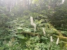贈答・プレゼントにも。こだわり高級無添加パスタソース専門店・おとりよせのナチュラルグレースメルカートのブログ 蝶ヶ岳登山!渓谷沿いの登山道で美しい植物も。
