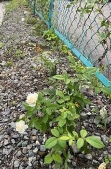 贈答・プレゼントにも。こだわり高級無添加パスタソース専門店・おとりよせのナチュラルグレースメルカートのブログ 三毛猫キッチンバラ園計画は順調です バラを挿し木で育てた苗が花を付けました。2