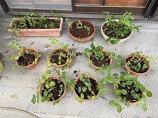 山梨県甲府市グルメレストランナチュラルグレースのランチ&ディナー&お弁当三毛猫キッチン&ケータリング&最高級パスタソース通販のブログ 今年もバラの苗を植えました! バラの枝