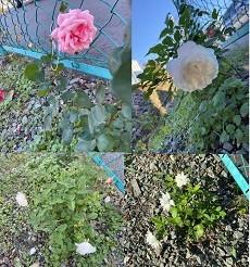 山梨県甲府市グルメレストランナチュラルグレースのランチ&ディナー&お弁当三毛猫キッチン&ケータリング&最高級パスタソース通販のブログ 今年もバラの苗を植えました! バラ