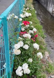 山梨県甲府市グルメレストランナチュラルグレースのランチ&ディナー&お弁当三毛猫キッチン&ケータリング&最高級パスタソース通販のブログ 今年もバラの苗を植えました! バラ2