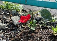 山梨県甲府市グルメレストランナチュラルグレースのランチ&ディナー&お弁当三毛猫キッチン&ケータリング&最高級パスタソース通販のブログ 今年もバラの苗を植えました!
